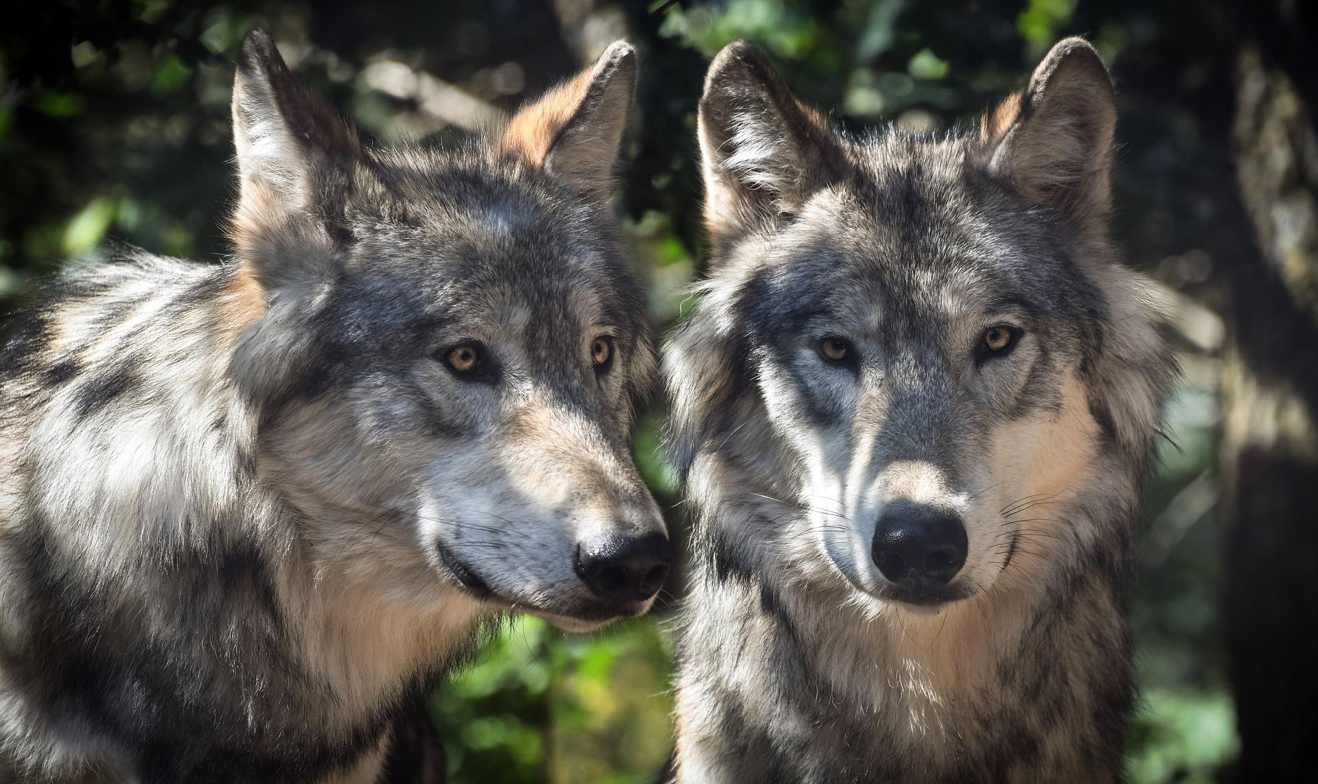 sivi volk